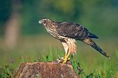 picture of goshawk  - Photo of young goshawk with it - JPG