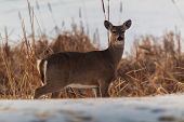 Whitetail Deer Along A Swamp