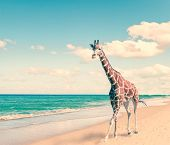 The giraffe runs on sand at seacoast with a retro effect
