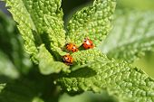 stock photo of mating animal  - Beautiful Lady Bugs  - JPG