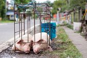 Two pigs in a cage waiting to be cooked in a Philippines street