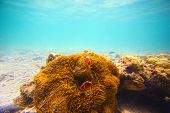 picture of yuan  - Corals clownfish and palm island  - JPG