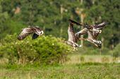 Greylag Gooses
