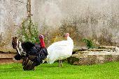 Turkey outside