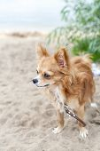 Nice chihuahua dog on sandy coast background