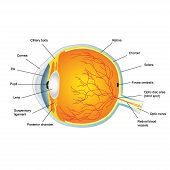 Anatomic Structure Of Human Eye