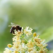 Bee Pollinate A Yellow Flower