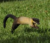 Yellow-throated Marten, Martes Flavigula