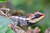 stock photo of lizards  - Acanthosaura armata Greater spiny lizard black faced lizard masked spiny lizard tree lizard acanthosaura crucigera boulenger with more red on its face - JPG