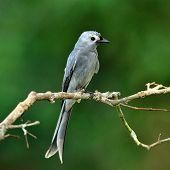 Ashy Drongo (dicrurus Leucphaeus) Fine Grey Color Bird Perching On Nice Branch