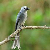 Ashy Drongo (dicrurus Leucphaeus) Grey Color Bird Perching On Nice Branch