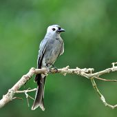 Ashy Drongo (dicrurus Leucphaeus) Nice Grey Bird Perching On The Beautiful Branch