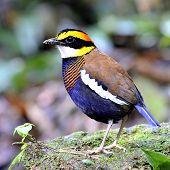 picture of belly-band  - Banded Pitta bird  - JPG
