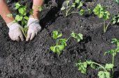 Senior Woman Planting A Celery Seedling