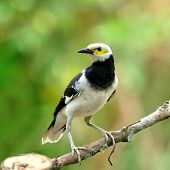 Black-collared Starling Bird (sturnus Nigricollis) On The Branch