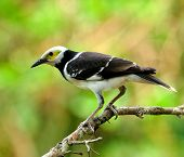 Black-collared Starling Bird (sturnus Nigricollis) Standing On The Branch With Back Profile