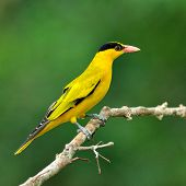 Black-naped Oriole, Beautiful Bright Yellow Bird (oriolus Chinensis)