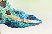Blue Lizard And Green Lizard (lacerta Viridis), Beauty Colorful