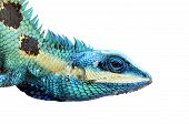 Blue Lizard Head Closeup Isolated On White Background (lacerta Viridis), Colorful Lizard