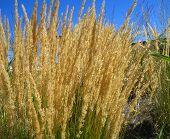 Feathery onamental grasses