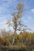 Old Poplar In Autumn