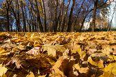 Maple Leaves In Autumn Park