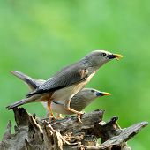Lovely Pair Of Chestnut-tailed Starling Bird (sturnus Malabaricus) On The Log