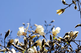 stock photo of japanese magnolia  - The flower of White Magnolia which blooms in spring of Japan - JPG