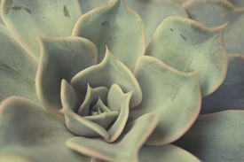 stock photo of photosynthesis  - Succulent plant up close - JPG
