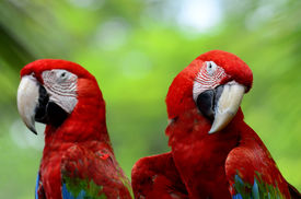stock photo of green-winged macaw  - A sweet pair of Green - JPG