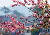 Beautiful Flower, Pink Cherry Blossom, Dalat Spring