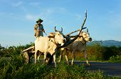 Amazing Vietnamese Rural, Asian, Cow Wagon