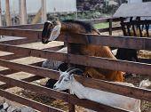 Domestic Livestock