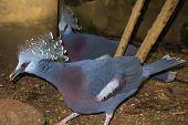 Crowned Pigeon.