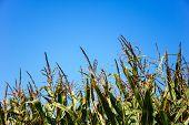 Maize Field Detail