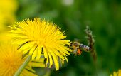 Bee approacing to dandelion flower