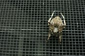 Постер, плакат: Overhead view of spider on a screen door