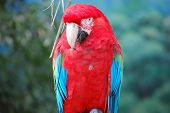 Front View of Scarlet Macaw