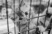 Homeless Animals Series. Tabby Kitten Looking Out From Behind The Bars Of His Cage Black And White I