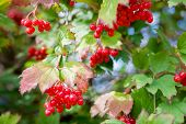 branch of mountain red ash