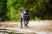 Cane Corso dog in nature