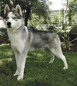 picture of siberian husky  - Two years old pure breed Siberian husky standing up - JPG