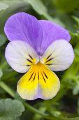 One Viola cornuta tricolor