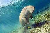 foto of aquatic animal  - dugong aka sea cow - JPG