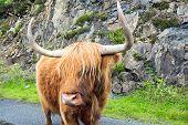 Galloway cattle in Scotland