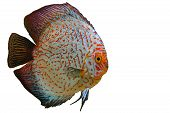 picture of png  - Red and White Aquarium Discus Fish on Transparent Background PNG - JPG