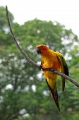 stock photo of sun perch  - sun conure or sun parakeet or aratinga solstitialis - JPG