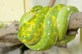 foto of green tree python  - Morelia viridis - JPG