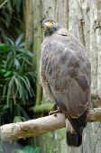 crested serpent eagle or spilornis cheela