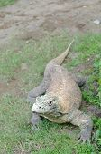 picture of komodo dragon  - The Komodo dragon  - JPG